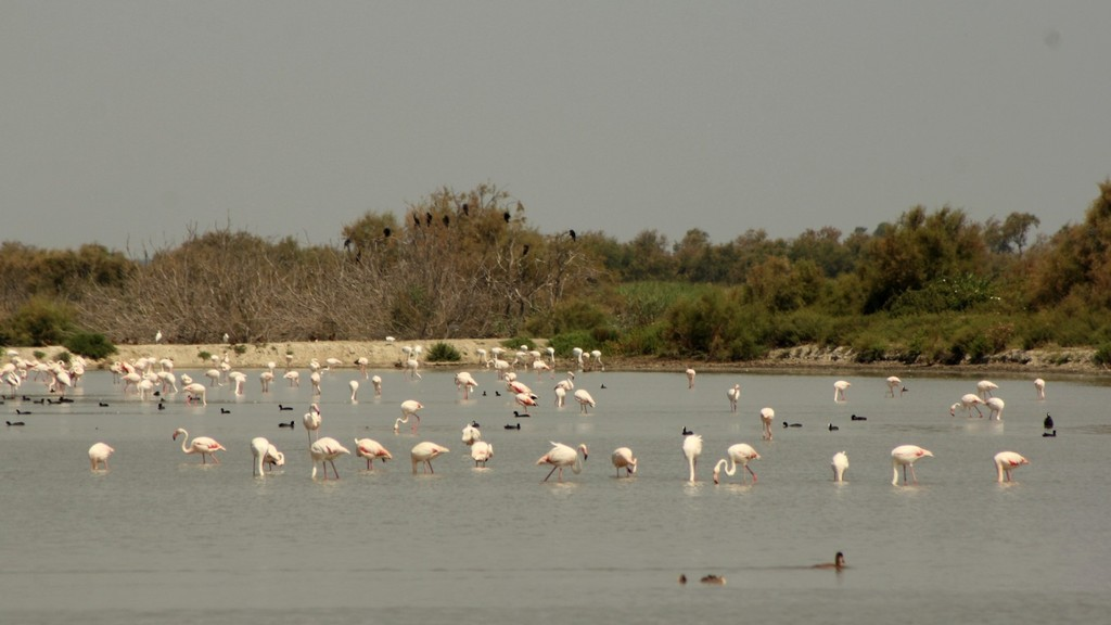 Flamants roses et Foulques sur la zone sanctuaire
